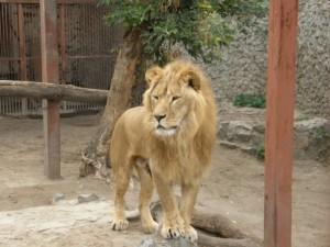 Лев харьковского зоопарка