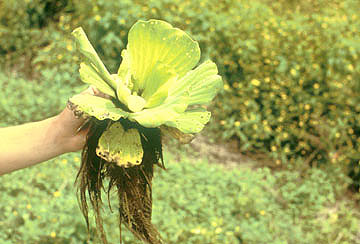 Pistiaplant1