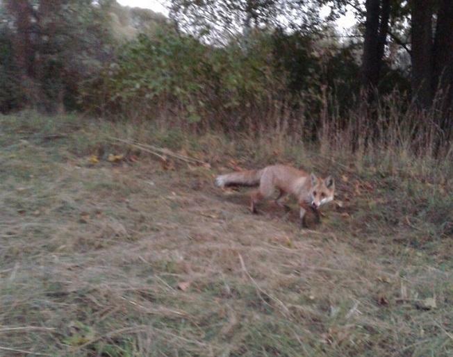 дикие лисицы