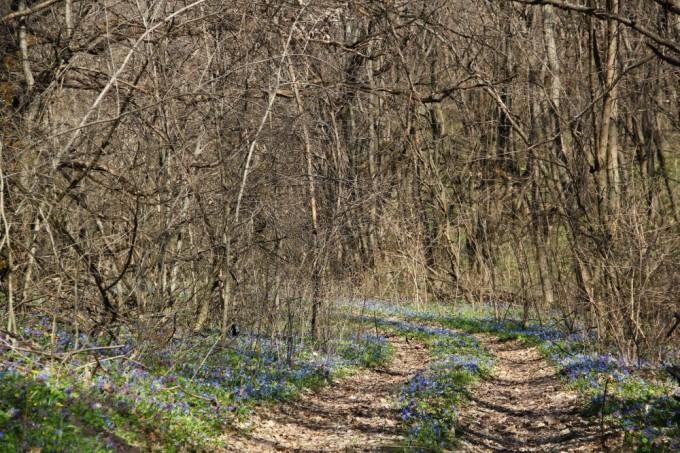 Подснежники и другие ранние лесные цветы устилают землю густым цветным ковром, уходящим глобоко в лес.