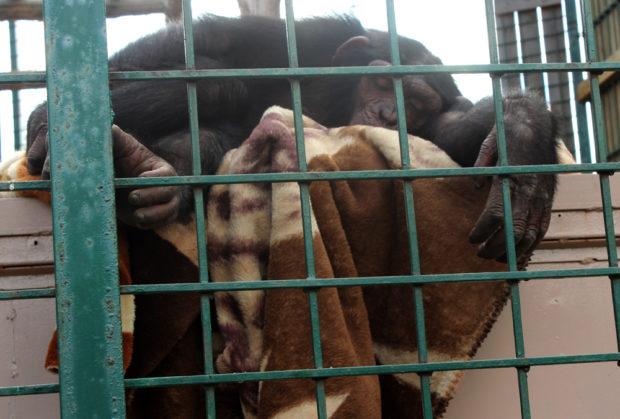 обезьяна чаки