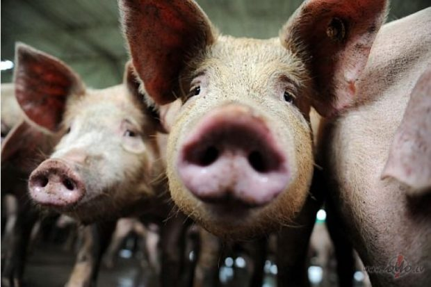 свинья, чума свиней