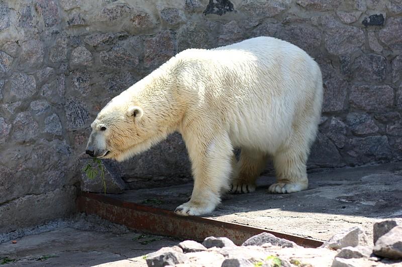 белый медведь из коллекции зоопарка