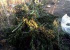 В Харьковской области у пенсионера изъяли 10 килограммов марихуаны
