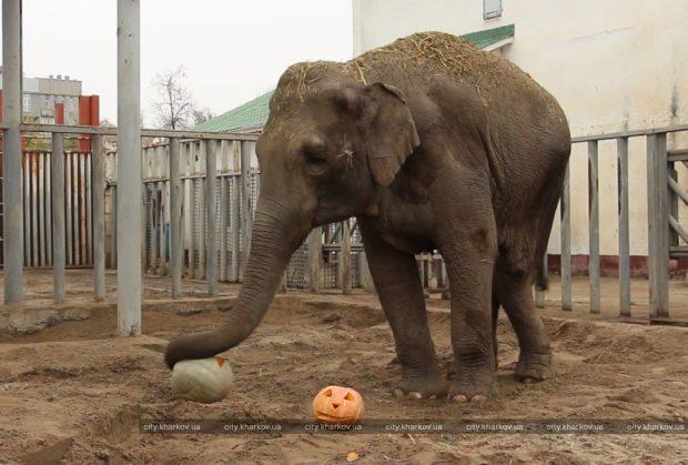 Обитателям Харьковского зоопарка привезли на Хэллоуин тыквы