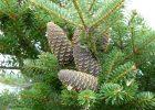Кернесу предлагают высаживать в городе вечнозеленые деревья