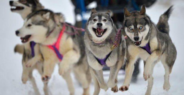 В субботу в Харькове пройдут гонки ездовых собак