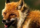 В части Холодногорского района введен карантин из-за бешенства лисицы