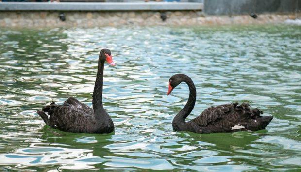 Лебедей из озера в саду Шевченко уберут - Кернес