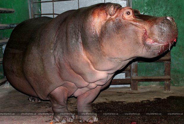 В зоопарке отметили день рождения бегемотихи Степаниды