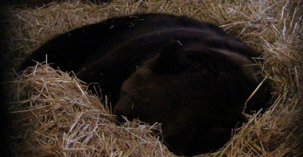 В Харьковском зоопарке медведи залегли в спячку
