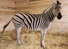 В экопарк Фельдмана привезли новую зебру вместо сбежавшей