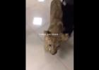 В харьковском ТРЦ из контактного зоопарка сбежал львенок (видео)