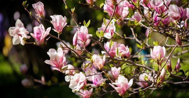 В харьковском ботаническом саду цветут магнолии