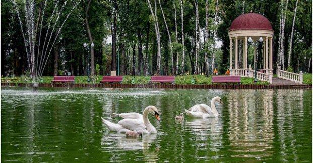 На озеро в парке Горького вернулись лебеди