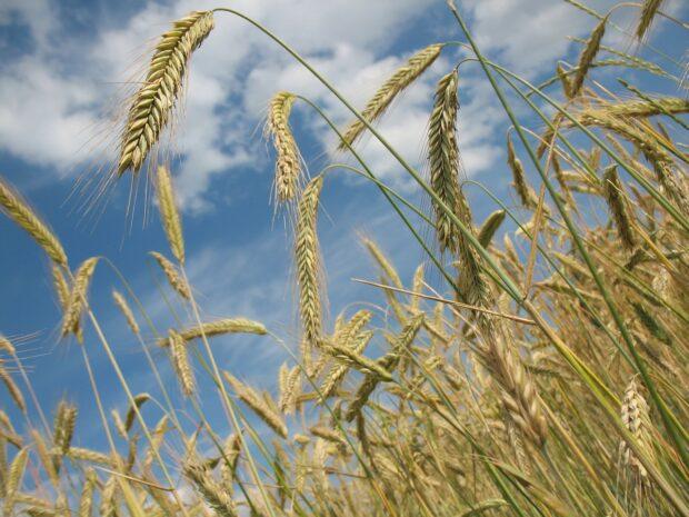 пшеница, зерно, поле