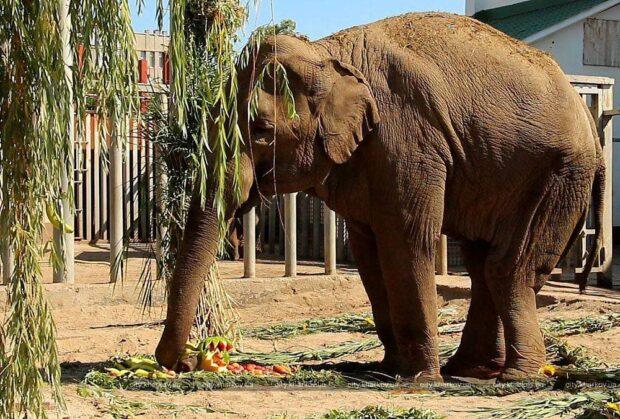 В Харьковском зоопарке умерла слониха