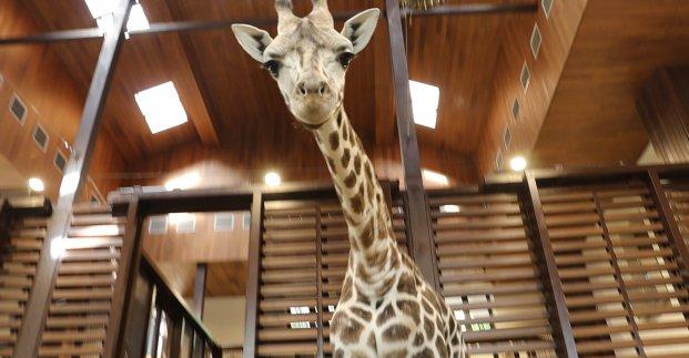 В Харьковском зоопарке отметили день рождения жирафа Дёмы