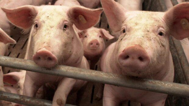 На Харьковщине зафиксирован случай африканской чумы свиней: вводятся карантинные ограничения