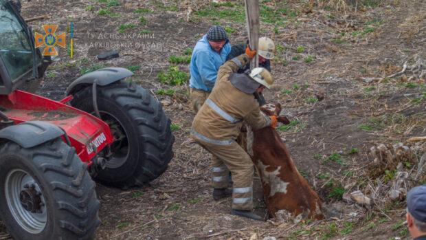 В селе на Харьковщине спасатели достали из глубокого колодца двухсоткилограммового теленка