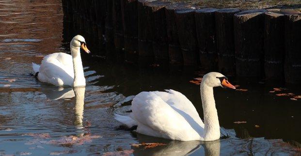 Лебедей из парка Горького теперь можно увидеть в зоопарке